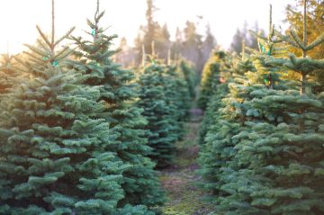 Rows of freshly-cut Christmas trees