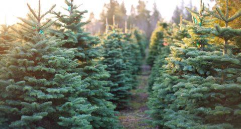 Rows of freshly-cut Christmas trees